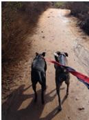 Saul_dogs